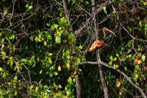 Scarlet ibis (c) Stellar Tsang with the GHFS