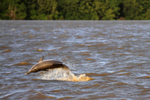 Jumping dolphin (Sotalia guianensis) (c) Stellar Tsang with the GHFS