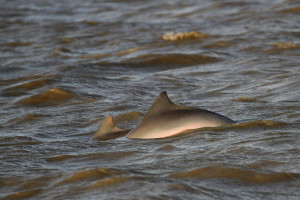 Dolphins (Sotalia guianensis) (c) Stellar Tsang with the GHFS
