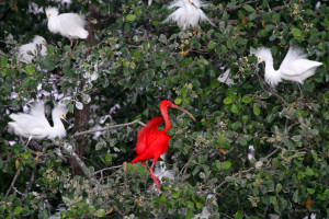 A scarlet ibis roosting with the white egrets (c) Stellar Tsang with the GHFS