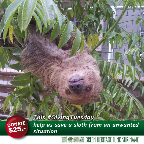 Sometimes sloths get in situations where they hurt themselves because of the fences we humans build.