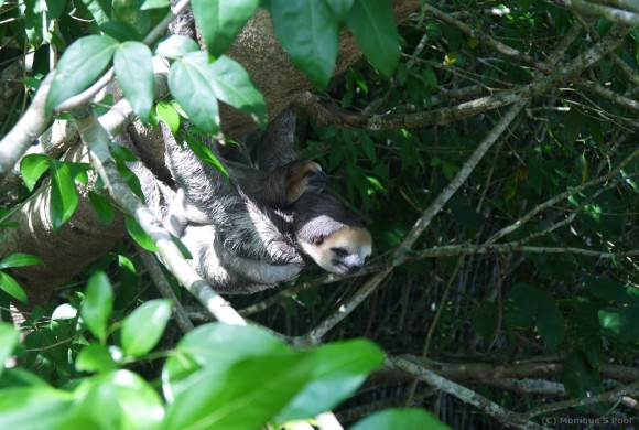 Mommy and baby sloth back in nature.