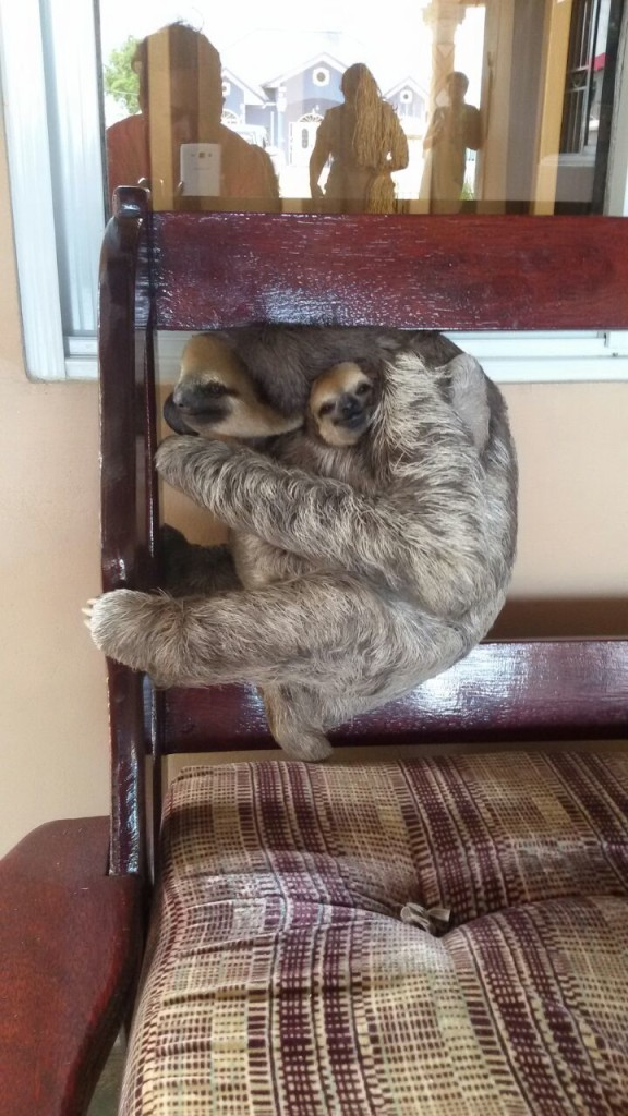 A mommy sloth with her baby was sitting on the back of the chair and taking a nap