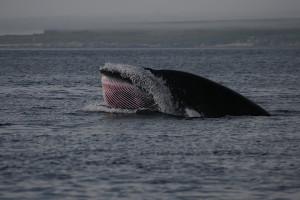 Dwergvinvis Bron: NEFS/NOAA, Denise Risch