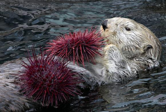 Zeeotter die zee-egels aan het eten is Bron: NOAA, Neil Fisher